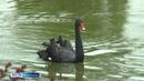 В монастырском пруду Толги плавает великолепная пятерка черных лебедей