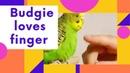 Волнистый попугайчик любит палец Приручил волнистого попугая