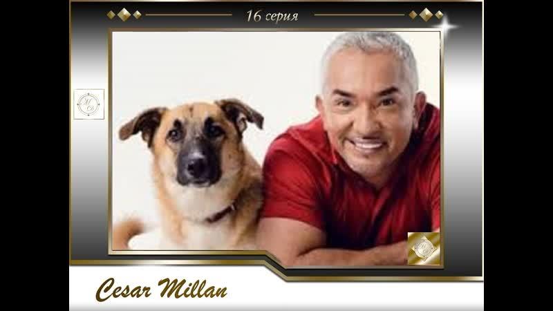 16 серия Сезар Миллан Переводчик с собачьего Persi Justice