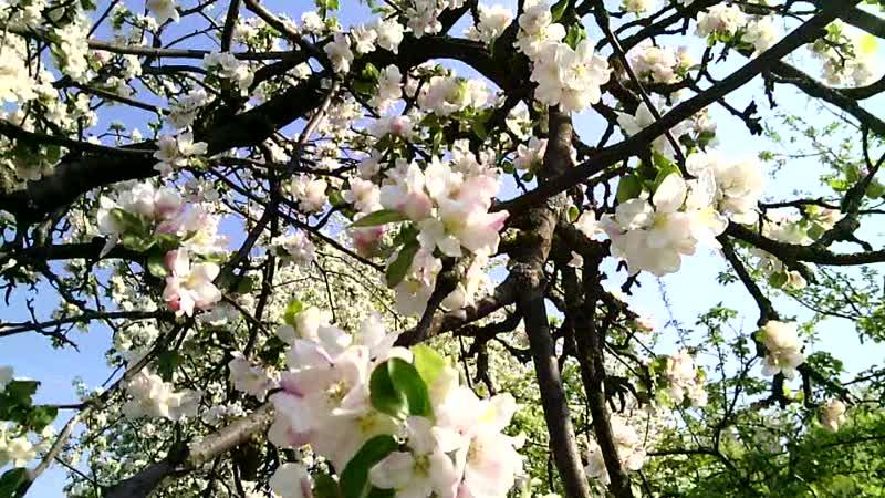 Мої Відеозаписи Весна Весняна Магія Цвітіння Яблуні Звуки Весни