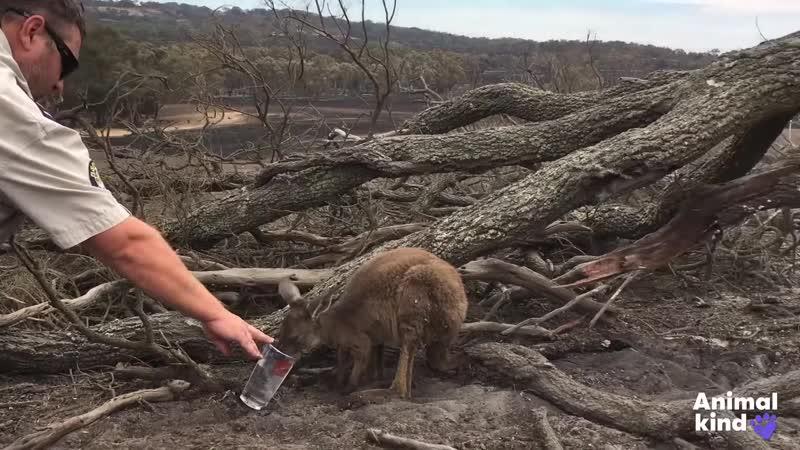 Спасатели мчатся спасать дикую природу Австралии