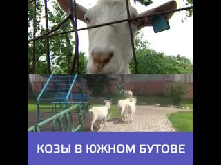 В Южном Бутове по улицам гуляют козы  Москва 24