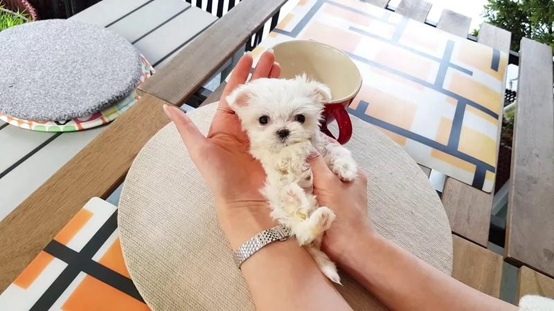 Mini maltese videos so lovely puppy my heart Teacup puppies KimsKennelUS