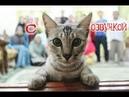 Приколы с котами с ОЗВУЧКОЙ! САМОЕ СМЕШНОЕ ВИДЕО! ЗАСМЕЯЛСЯ ПРОИГРАЛ! - PSO