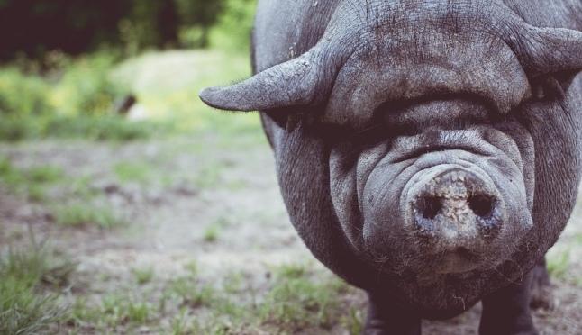 В Нижегородской области уничтожено 400 свиней