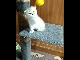 Вислоухий голубоглазый шотландский котенок.