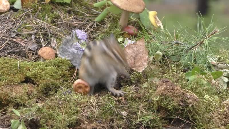 Бурундук о гриб!