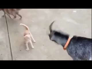 Котенок защищает маму от Козы! Какой храбрый)))