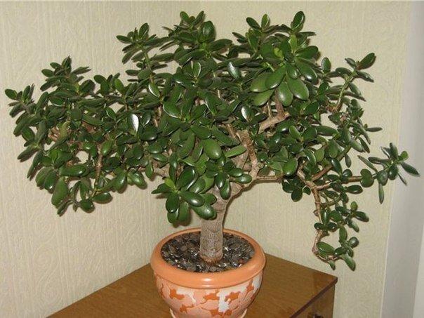 Денежное дерево» для здоровья. Толстянка имеет множество разновидностей. Однако наиболее распространена в качестве комнатного растения толстянка древовидная, или «денежное дерево», Иногда еще