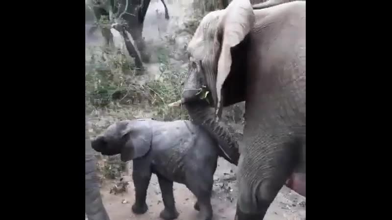 🔥 Baby Elephant coming to say hi but mom's in a hurry