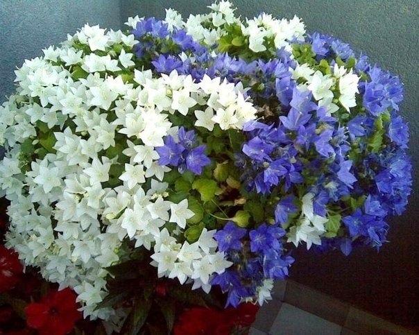 Бережно ухаживаю за колокольчиком после цветения