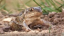 Common Spadefoot Toad Pelobates fuscus digging itself to the soil