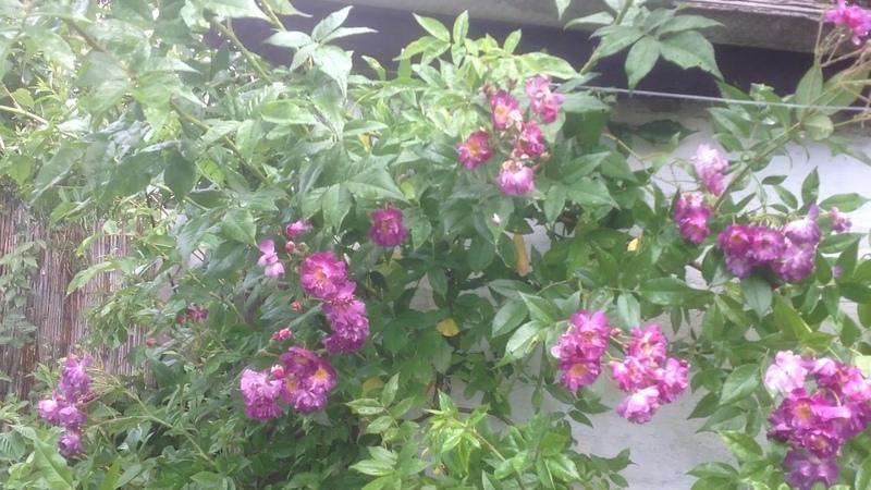 Плетистая роза рамблер Вайхельблау