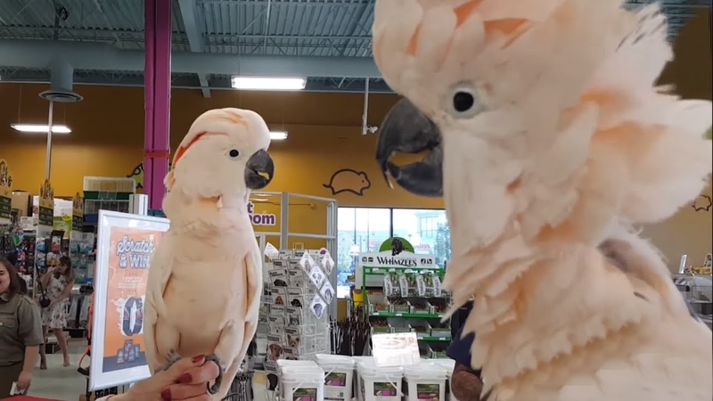 Cockatoos meet each other in pet store hilarity ensues