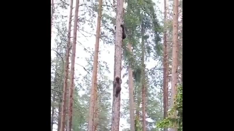 Медвежата забираются на дерево Рруппа Опасная ПРанета
