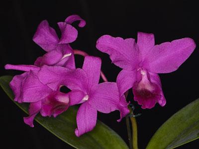 Орхидея Каттлея, изображение №9