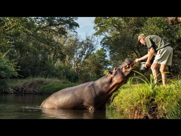 Рейнджер спас бегемота он и подумать не мог как он его отблагодарит