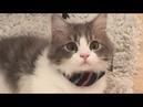 Gorgeous Napoleon Minuet Cat