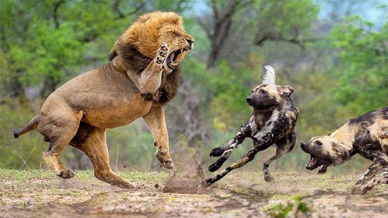 LIONS AMBUSH WILD DOGS | Run To Survive