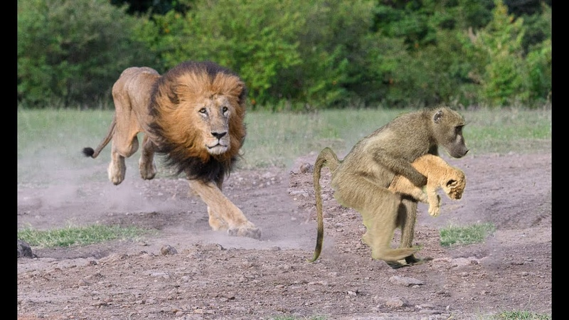 Hoảng hốt tình huống Khỉ Đối đầu với vua sư tử Gây cấn kịch tính Sư tử sợ nhiều phép Họ