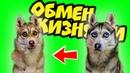 ОБМЕН ЖИЗНЯМИ ХАСКИ РЕЖЕТ ОГУРЕЦ Хаски Бублик Говорящая собака Mister Booble