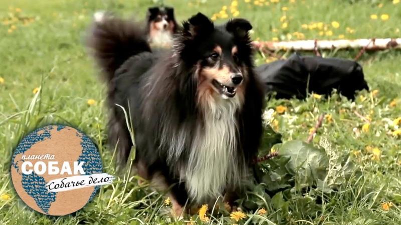 Планета собак Собачье дело Собаки спортсмены Фристайл фрисби шелти бордер колли бигль