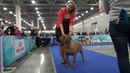 19 11 2017 the ring of the Dogue de Bordeaux ринг бордоского дога Moscow