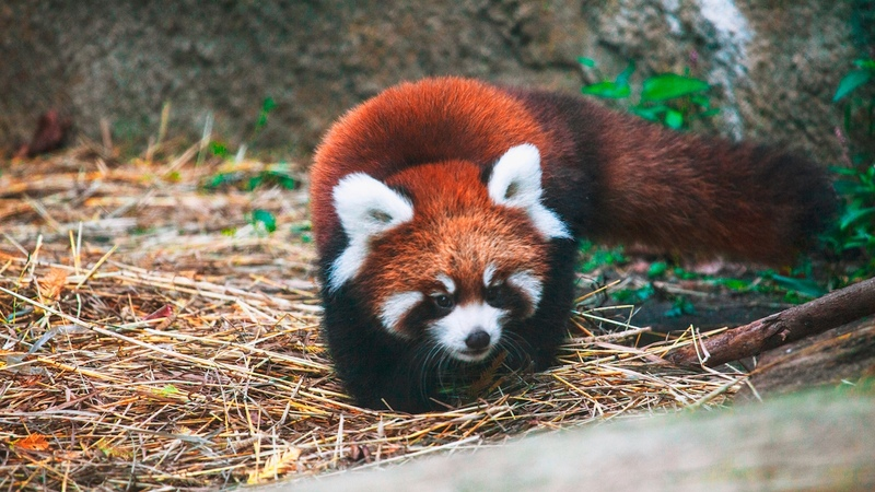 Cute Red Panda Cubs Go Exploring: ZooBorns