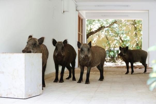 Дикие кабанчики хозяйничают во  дворе жилого дома во время карантина в Хайфе, Израиль