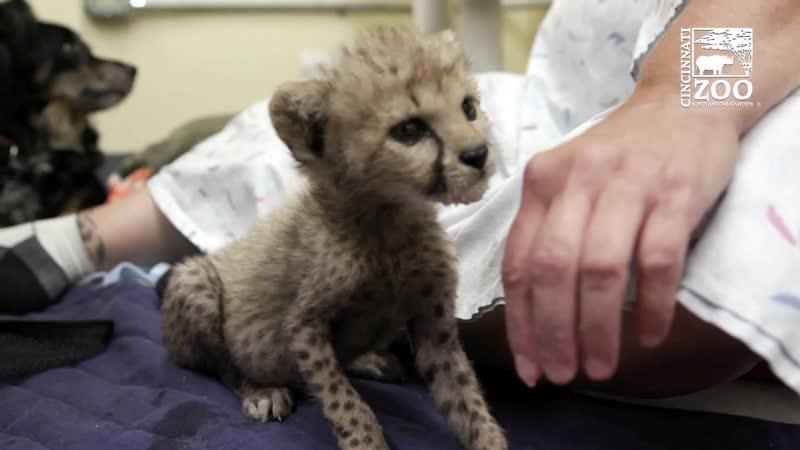 Гепардёнок Крис Цинциннатский зоопарк