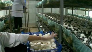 Сбор шампиньонов на грибной ферме.Как собирать ящик по 3кг?Ошибки сбора и качество гриба
