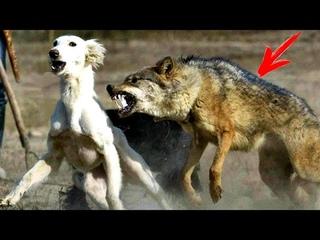 Невероятная встреча дикого волка с собакой потрясла весь мир... Такого ранее никто не видел...