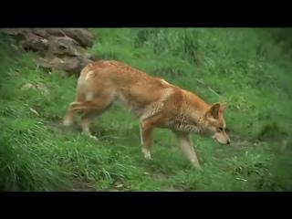 Динго – главный хищник Австралии! Интересные факты о диких собаках динго