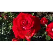 Роза чайно гибридная Гольштейн Перла