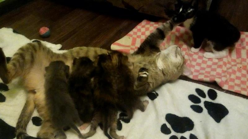 кошка с завода кормит приемных котят