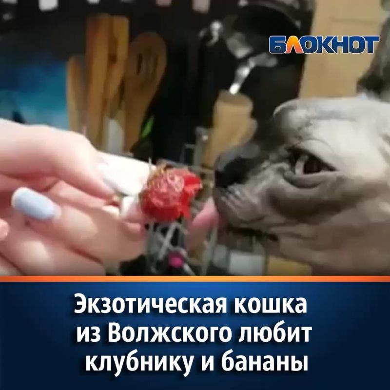 Экзотическая кошка из Волжского любит клубнику и бананы