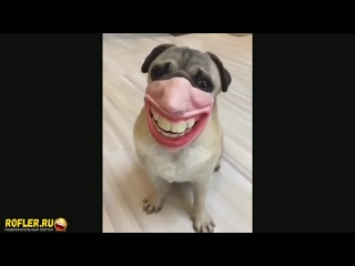 Мой хозяин идиот (приколы с животными, собаками, кошками, ржака, vine, Вайн, смешное, косплей)