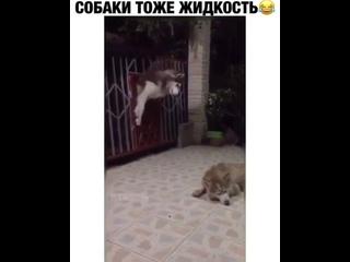 Собаки тоже жидкость