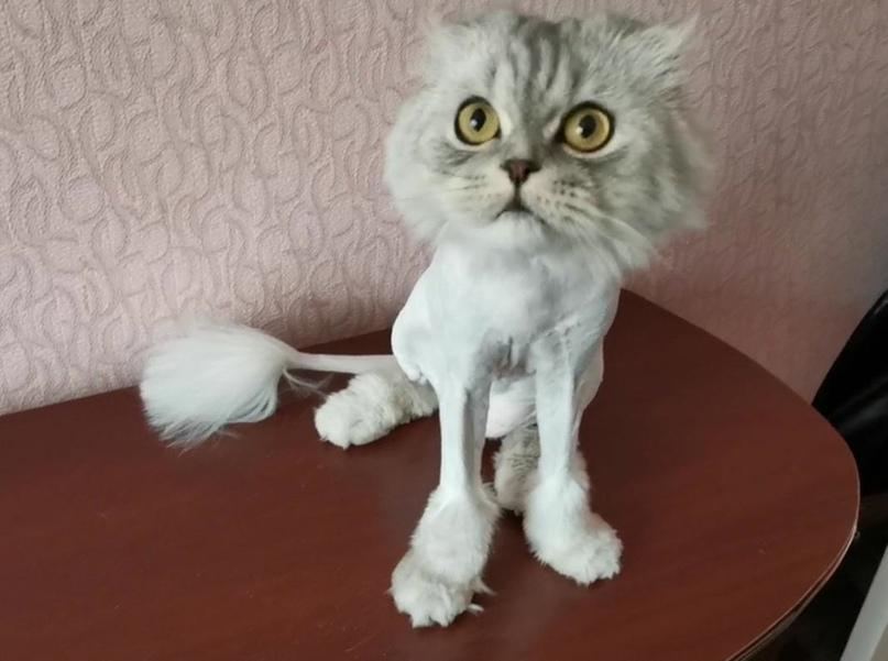 Профессиональная стрижка котов и кошек | Объявления Орска и Новотроицка №28623