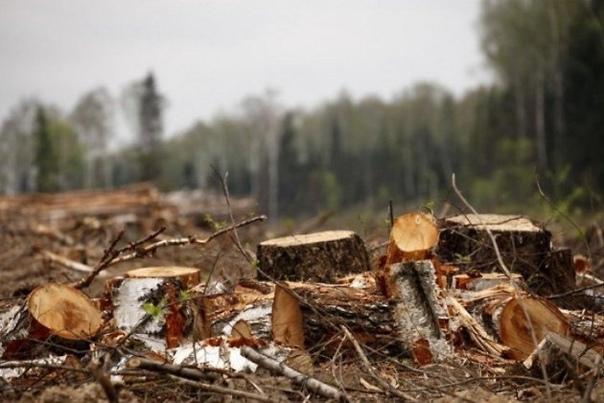 Четверо лесорубов отправятся в колонию за вырубку леса на 1,4 млн рублей в Забайкалье