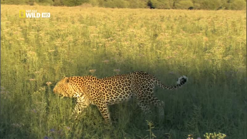 Необычный леопард The Unlikely Leopard National Geographic 2012 HDTV 1080i