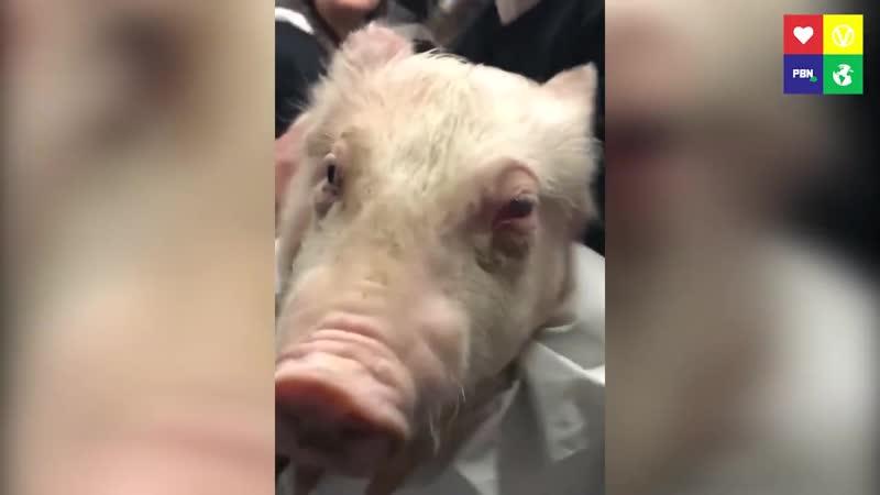 История страданий свинки Жасмин