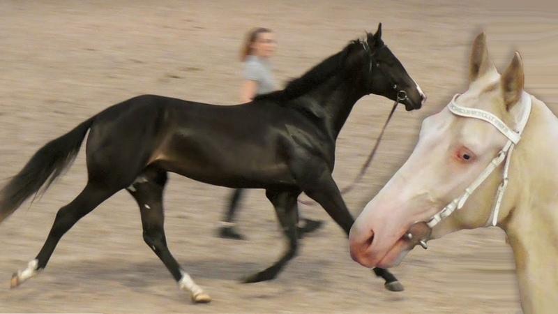 ЛОШАДИ ахалтекинская чистокровная ЖЕРЕБЦЫ 2 х лет ИППОсфера 2019 выставка лошадей