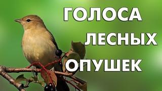 16 голосов лесных опушек (Птицы России) / Мини-определитель #ГолосаПтиц