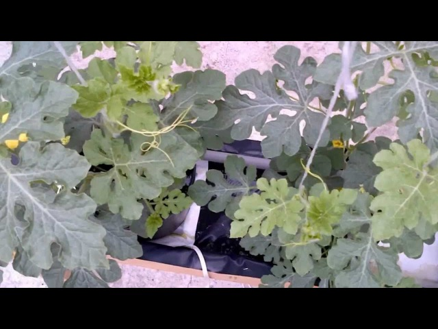 Growing Watermelon Hydroponically 2 of 3