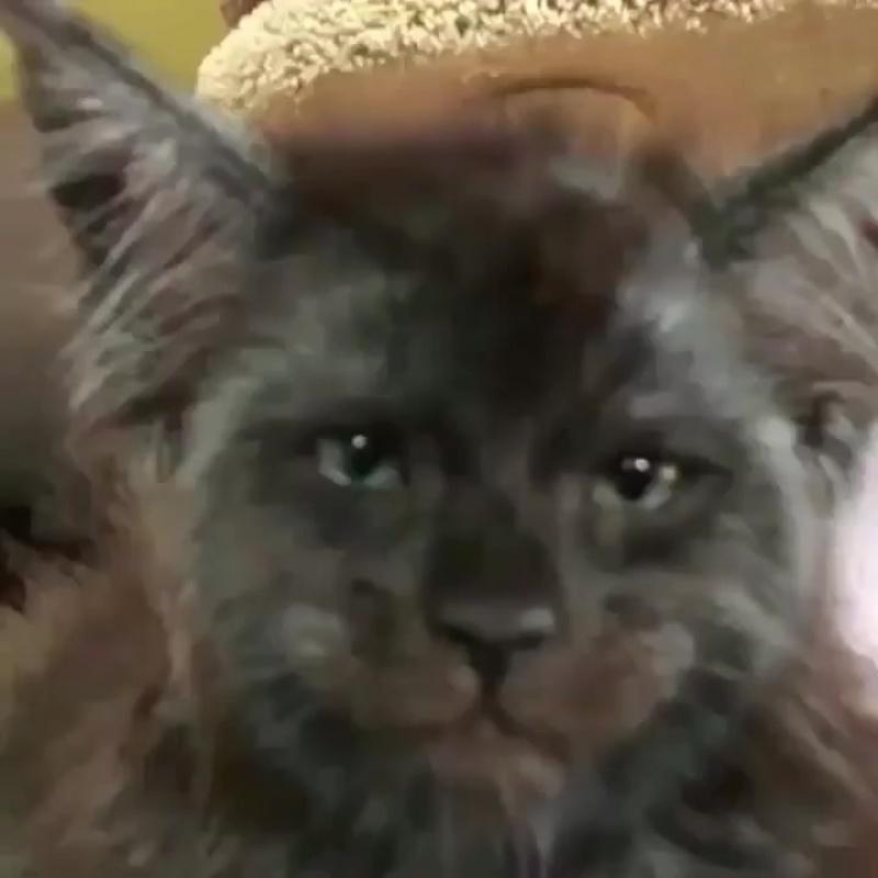 Мейн кун Валькирия Кошка с человеческим лицом