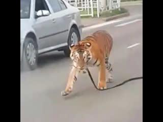 Слышали новость Тигр на свободе