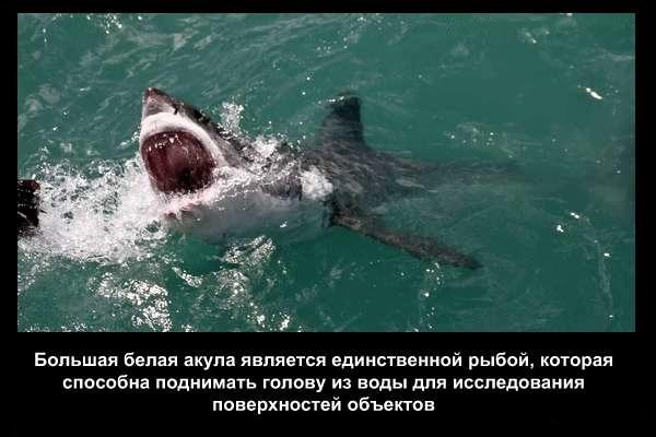 валтея - Интересные факты о акулах / Хищники морей.(Видео. Фото) QQyqcDk2BLQ